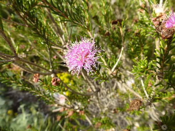 Melaleuca scabra photo