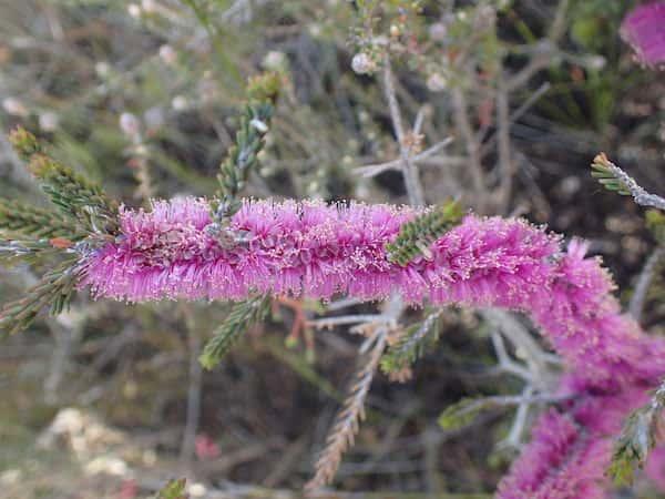 Melaleuca suberosa photo