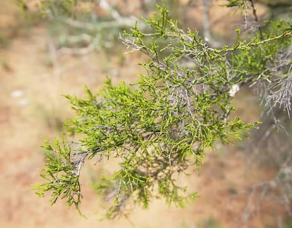 Melaleuca tamariscina photo