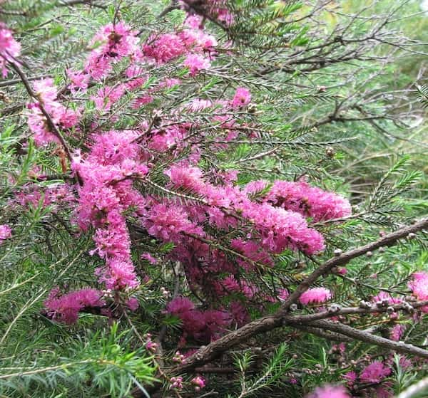 Melaleuca wilsonii photo