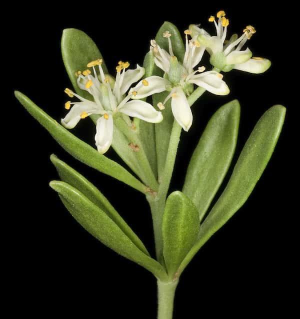 Nitraria billardierei photo