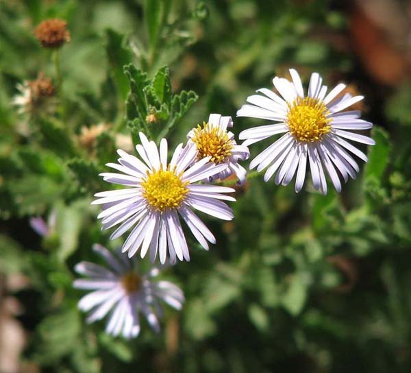 Olearia stuartii photo