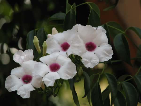 Pandorea jasminoides photo