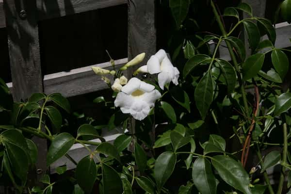 Pandorea jasminoides 'Lady Di' photo