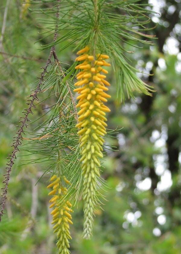 Persoonia pinifolia photo