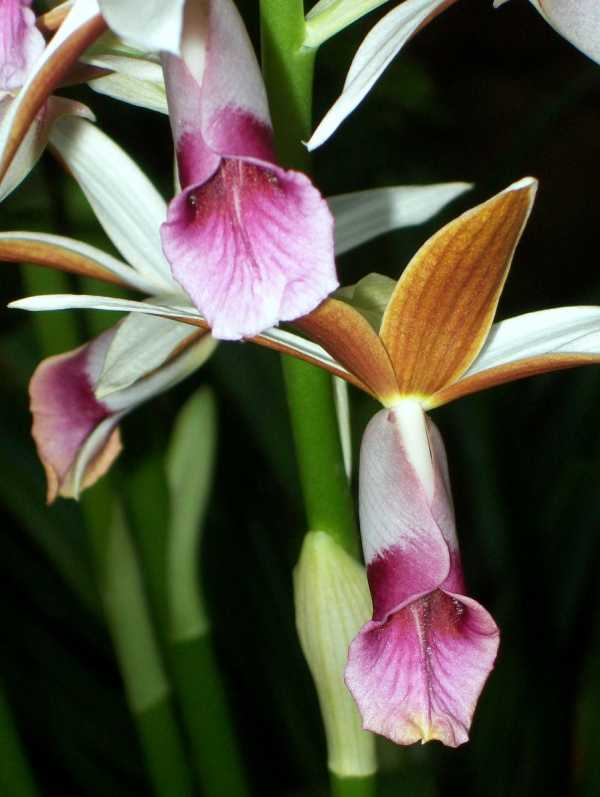 Phaius australis photo
