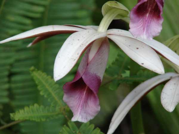 Phaius tancarvilleae photo