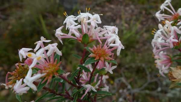 Pimelea linifolia photo
