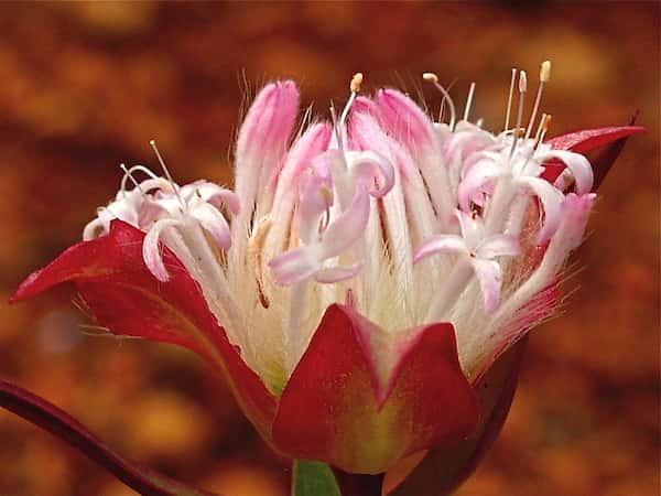 Pimelea spectabilis photo