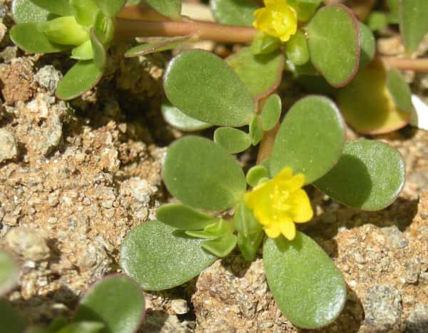 Portulaca oleraceae photo