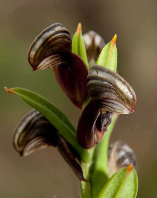 Pterostylis sanguinea photo
