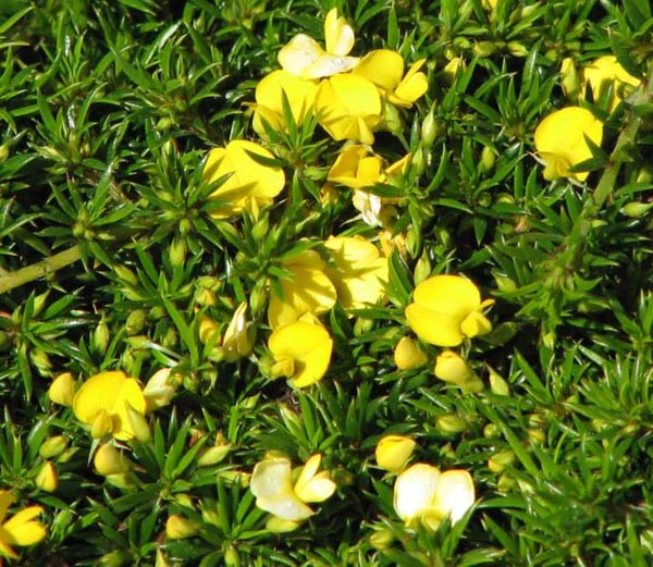 Pultenaea pedunculata photo