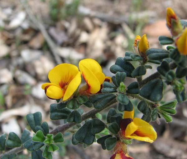 Pultenaea scabra photo