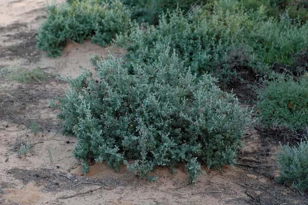 Rhagodia spinescens photo