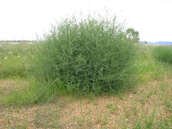 Salsola australis photo