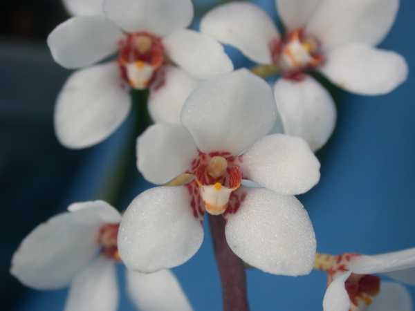 Sarcochilus hartmannii photo