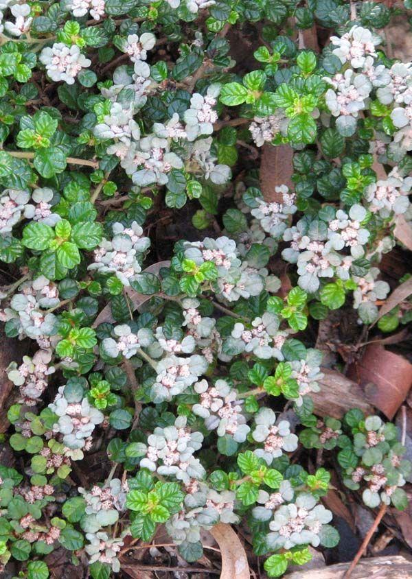 Spyridium parvifolium photo