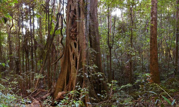 Ficus watkinsiana photo