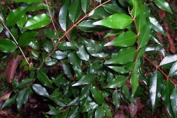 Syzygium francisii photo