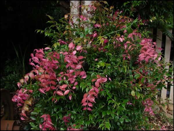 Syzygium luehmannii photo