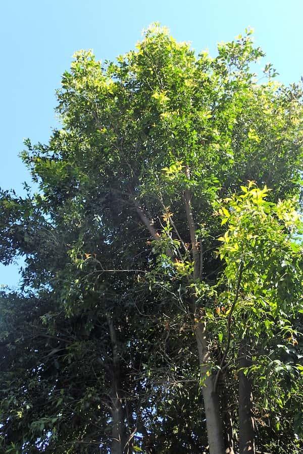 Syzygium oleosum photo