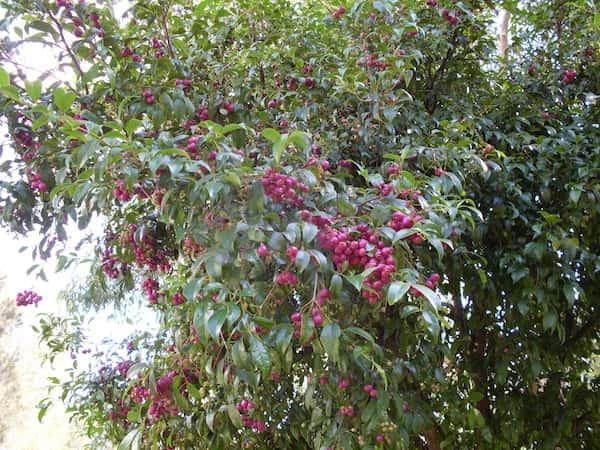 Syzygium paniculatum photo