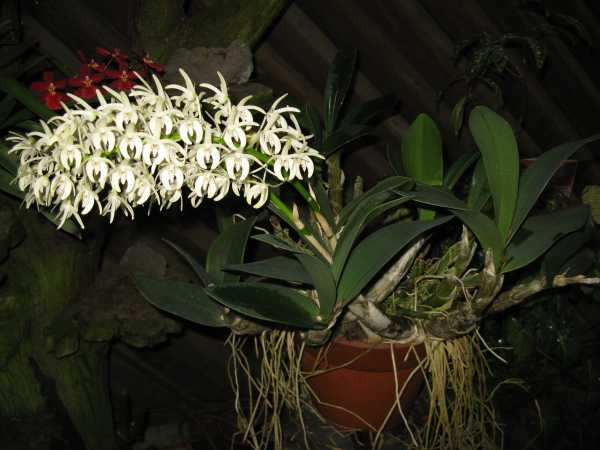 Thelychiton speciosus photo