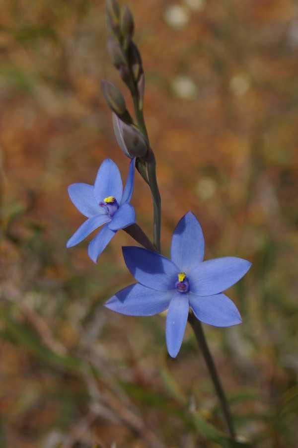 Thelymitra crinita photo