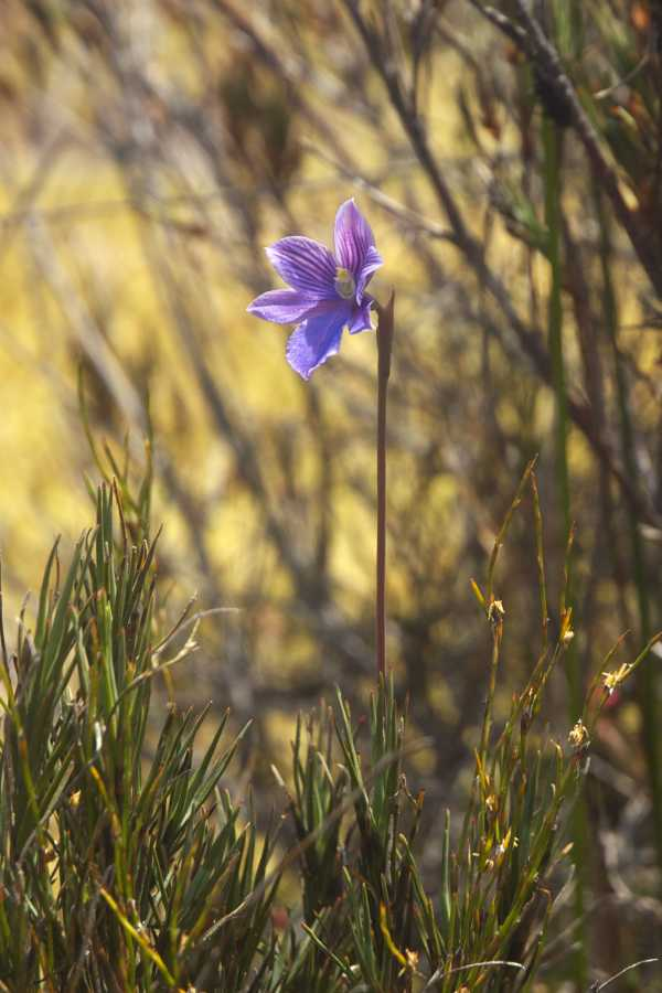 Thelymitra cyanea photo