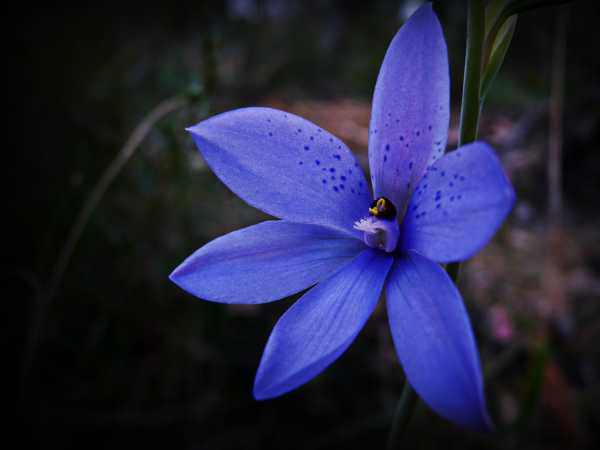 Thelymitra ixioides photo