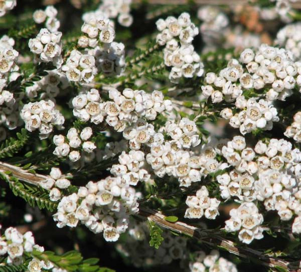 Thryptomene saxicola photo