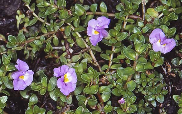 Thyridia repens photo