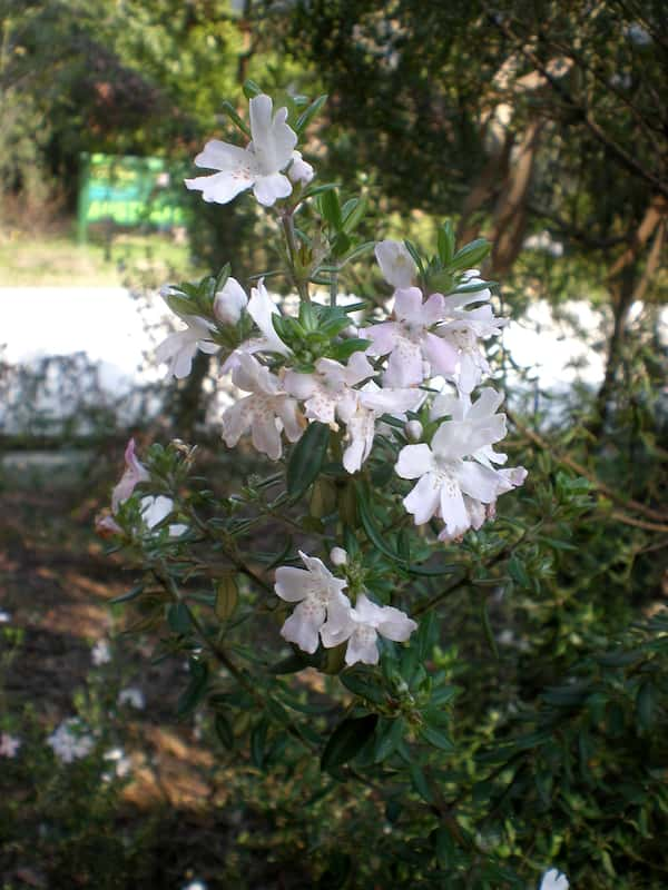 Westringia brevifolia photo