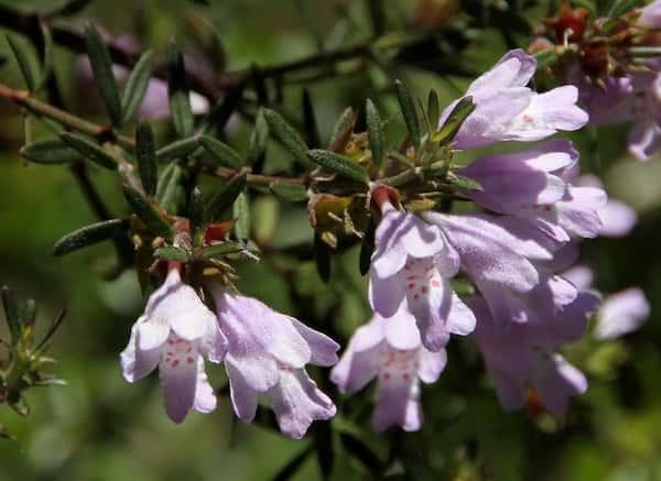 Westringia glabra photo