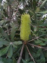 Banksia integrifolia ssp integrifolia