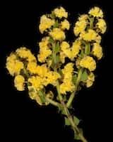 Acacia chrysocephala