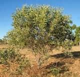 Acacia colei