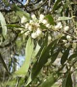 Acacia fasciculifera