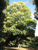 Argyrodendron actinophyllum
