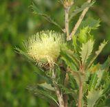 Banksia anatona
