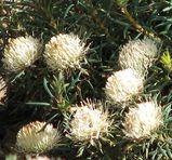 Banksia carlinoides