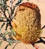 Banksia audax