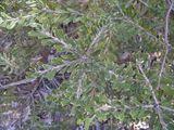 Banksia canei