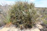 Banksia elderiana