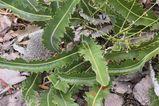 Banksia gardneri var brevidentata