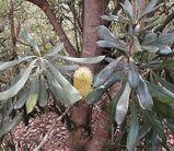 Banksia integrifolia ssp compar