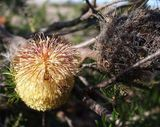 Banksia scabrella