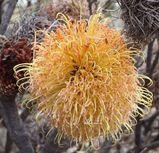 Banksia sphaerocarpa var caesia