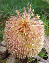 Banksia telmatiaea