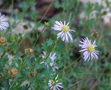 Calotis cuneifolia